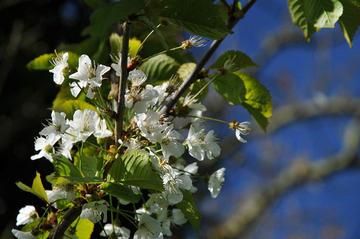 Apfelblüte auf Bornholm